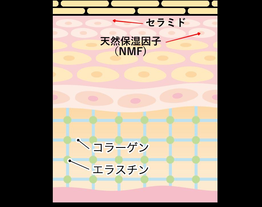 肌の構造(天然保湿因子とセラミド)