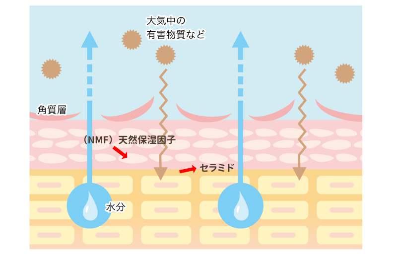 角質層のセラミドと天然因子